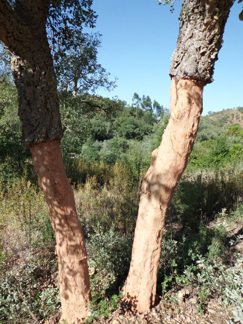 cork oak trees, sobreiros, Algarve, Portugal